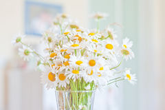 Chamomile morning. Beautiful morning bouquet of camomiles Stock Photography