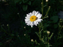 Chamomile. Since the morning, the bee works, extracting honey nectar Royalty Free Stock Photos