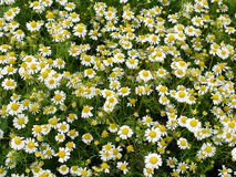 Chamomile in nature Stock Image