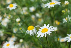 Chamomile in nature on a green background. White beautiful chamomile in the nature on a green background Stock Photos