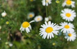 Chamomile in nature on a green background. White beautiful chamomile in the nature on a green background Royalty Free Stock Photos
