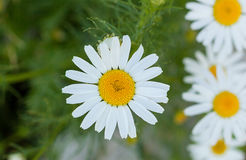 Chamomile in nature on a green background. White beautiful chamomile in the nature on a green background Royalty Free Stock Image