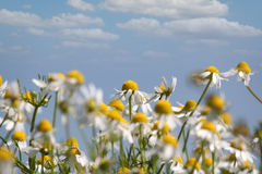 Chamomile nature spring scene Royalty Free Stock Photography