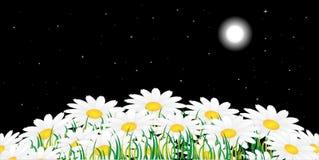 chamomile noc Obrazy Stock