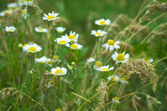 Chamomile officinalis. chamomile. Medicinal plant. Chamomile officinalis . chamomile. Medicinal plant stock photography