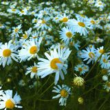 Chamomile field in summer royalty free stock photos