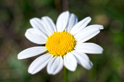 Chamomile over dark green  background Royalty Free Stock Image