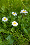 Chamomile, ox-eye daisy Stock Photography