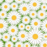 Chamomile pattern Royalty Free Stock Image