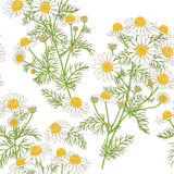 Chamomile Pattern on White. Royalty Free Stock Photography