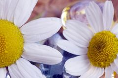 Chamomile and  pebble of glass Royalty Free Stock Photos
