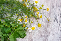 Chamomile and peppermint Stock Photography