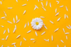 Chamomile with petals on a bright orange background stock images