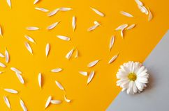 Chamomile with petals on bright paper. Chamomile with petals on orange and gray paper stock images