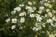 Chamomile pharmacy bush is one of the most popular medicinal pla Royalty Free Stock Photos