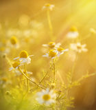 Chamomile plant Royalty Free Stock Photography