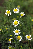 Chamomile plant Stock Image