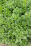 Chamomile Plant Stock Photos