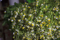 Chamomile plant. A pile of chamomile plant, used to prepare tea. at sale in a market Royalty Free Stock Photo
