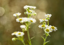 Chamomile plants. Chamomile plant on out of focus background Royalty Free Stock Photos