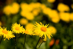 Chamomile plants. In meadow during sunset or sunrise Royalty Free Stock Image