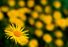 Chamomile plants. In meadow during sunset or sunrise Royalty Free Stock Photos