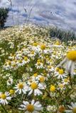 Chamomile plants, chamomile field Royalty Free Stock Photos