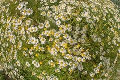 Chamomile plants, chamomile field Stock Image
