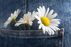 Chamomile in the pocket of a summer jeans trousers Stock Image