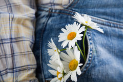 Chamomile in the pocket of a summer jeans trousers Royalty Free Stock Image
