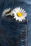 Chamomile in the pocket of a summer jeans trousers Royalty Free Stock Photos