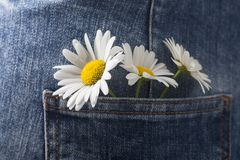 Chamomile in the pocket of a summer jeans trousers.  Royalty Free Stock Image