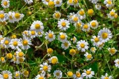 Chamomile pola kwiatów granica Alternatywnej medycyny wiosny podium Fotografia Royalty Free