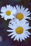 Chamomile pola kwiatów granica Piękna natury scena z bloo Zdjęcia Royalty Free