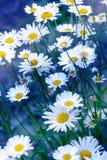 Chamomile pola kwiatów granica Piękna natury scena z bloo Zdjęcie Royalty Free