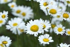 Chamomile pola kwiatów granica Piękna natury scena z bloo Obrazy Stock