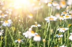 Chamomile pola kwiatów granica Tło Fotografia Stock