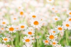 Chamomile pola kwiatów granica Tło Obrazy Stock