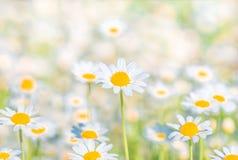 Chamomile pola kwiatów granica Tło Zdjęcie Stock