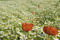 Chamomile and poppies Stock Images