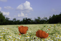 Chamomile and poppies Royalty Free Stock Photos