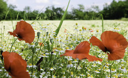Chamomile and poppies Royalty Free Stock Photo