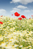 Chamomile and poppy flower Stock Photos