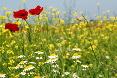 Chamomile and poppy flowers Stock Image