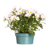 Chamomile in pot isolated Stock Photo