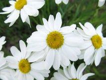 Chamomile przeciw trawie Piękna scena natura z kwitnącym Chamomile Chamomile wiosny kwiecisty krajobraz obraz royalty free