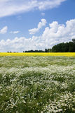 Chamomile and rapeseed in the field Stock Photos