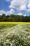 Chamomile and rapeseed in the field Royalty Free Stock Photography