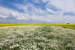 Chamomile and rapeseed in the field Stock Photo