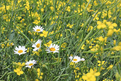 Chamomile in a rapeseed field Royalty Free Stock Photography